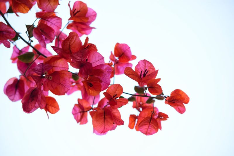 Low angle view of bougainvillea against clear sky
