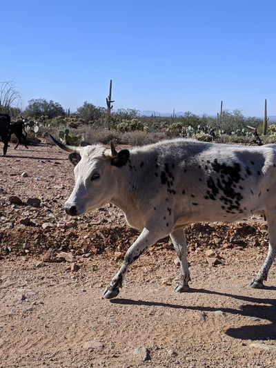 Desert Safari Animals Arid Climate Clear Sky Sand Side View Animal Themes Sky Ranch