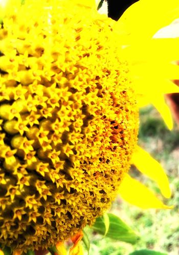 Can I brighten your day?? 🌻 Check This Out Iphonephotography EyeEm Best Shots EyeEm Gallery EyeEm Best Edits Iphoneonly Sunflower Taking Photos Nature_collection Showcase: February EyeEm Nature Lover Colours Greatoutdoors Flowerporn Flowers