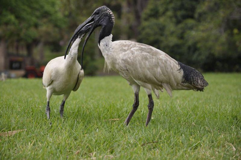 Sydney Sydney, Australia Australia Animals In The Wild Outdoors Bird Beauty In Nature Nature Royal Botanic Gardens Animal Themes EyeEmNewHere
