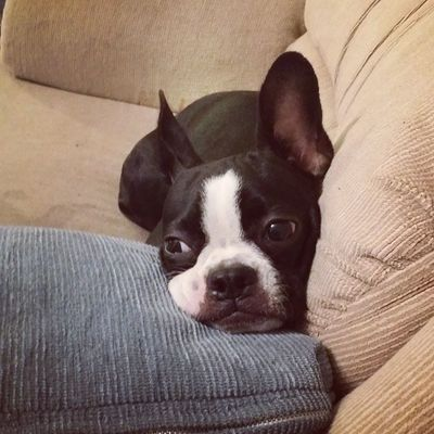 Byooful. Bostonterrier PuppyLove Puppy Puppiesofinstagram dogsofinstagram sleepingdogs
