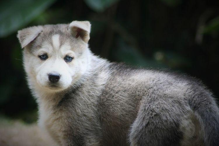 Portrait Of Husky Puppy On Field