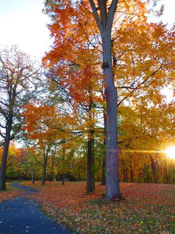 TreePorn Sunset_collection Sunshine Orange Leaves Colorful Autumn Autumn Splendour Autumn🍁🍁🍁 Sun Power Fall Foliage Orange Grass Autumn Sunset_captures Sunset