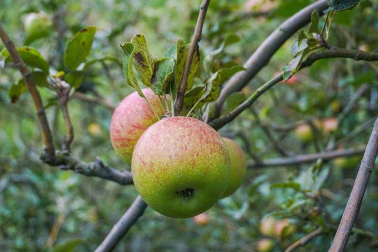 Rome beauty apple type Fruit Healthy Eating Food And Drink Food Plant Freshness Tree Growth Focus On Foreground Wellbeing Branch Close-up No People Day Nature Green Color Leaf Outdoors Fruit Tree Plant Part Ripe Apple Apple Blossom Apple - Fruit Plant