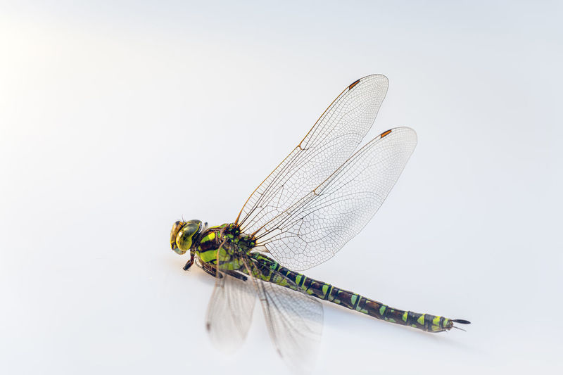 Insect Invertebrate One Animal Animal Themes Animal Animal Wing Animals In The Wild Studio Shot Animal Wildlife White Background Indoors  Close-up No People Dragonfly Copy Space Nature Yellow Day Beauty In Nature Cut Out Tote Libe Freigestellt Nahaufnahme Flügel Grazil