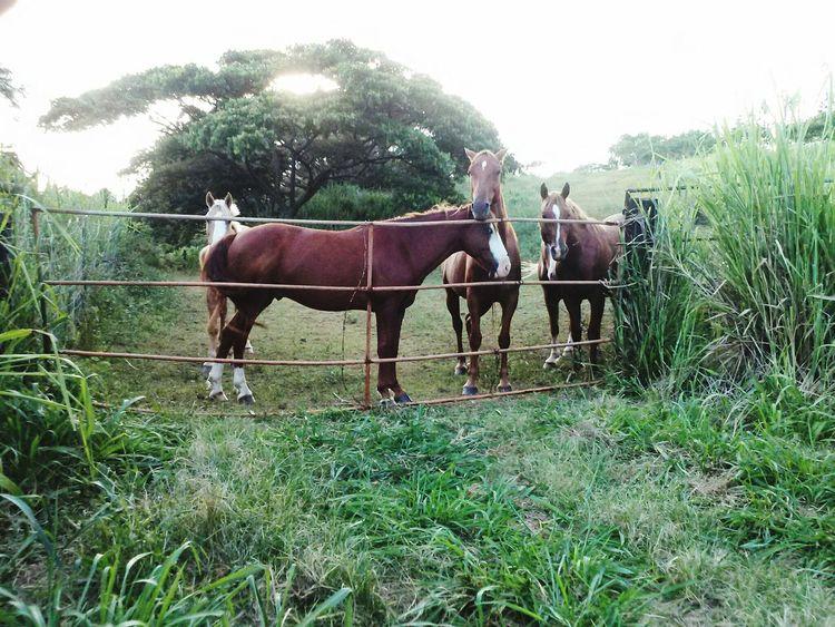 Naalehu Big Island Hawaii Hawaii Aloha Horse Domestic Animals Grass Animal Themes Ranch Field Mammal Paddock Day Agriculture Rural Scene Nature Friends Namaste ❤