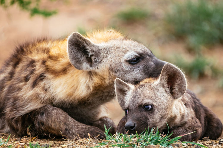 Spotted hyena mother and cub