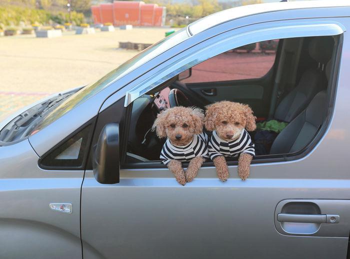 Dogs in car