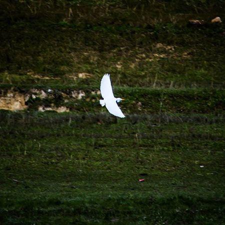 Fly high Bird Birdsofinstagram Whitecrane Flying