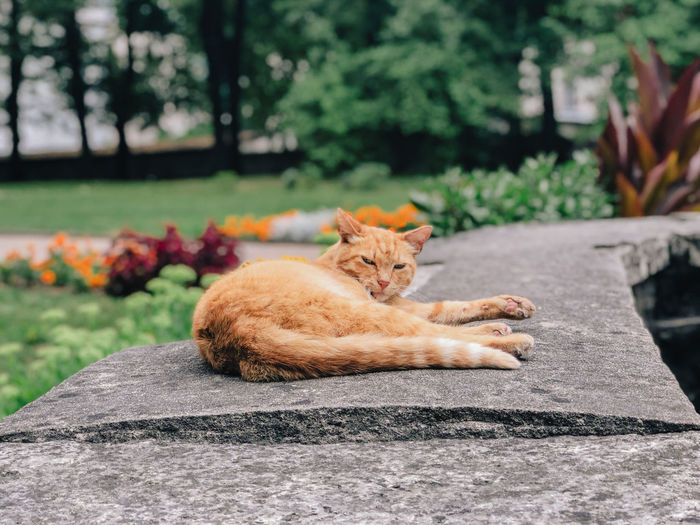 Mammal Animal Themes One Animal Animal Pets Relaxation Cat Feline Domestic Domestic Animals Domestic Cat Vertebrate Day No People Focus On Foreground Resting Lying Down Nature Plant Outdoors Ginger Cat Whisker
