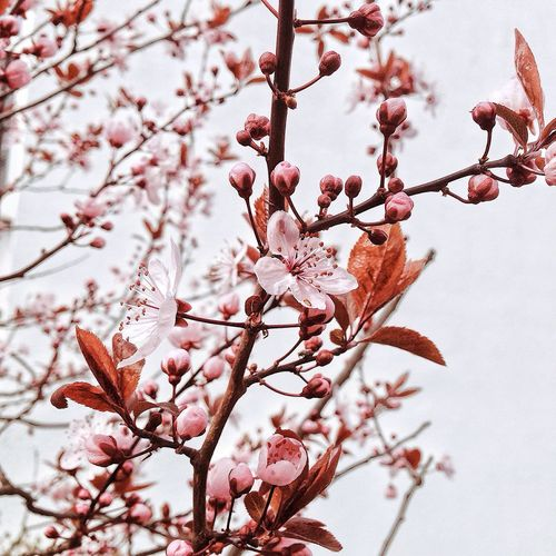 Spring Springtime Spring Flowers Growth Nature Beauty In Nature Millennial Pink Berlin Pink Pink Flower Tree Blossom Blooming Spring Blossoms