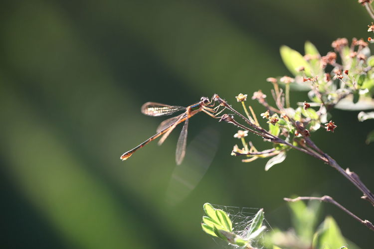 Flower Branch Perching Insect Close-up Animal Themes Dragonfly Animal Wing Animal Antenna