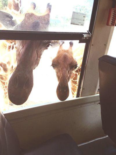 Giraffe Happy