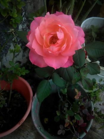 Rose - Flower Day No People Plant Pink Color Tranquility Company Cellphone Photography FotoDelDia Fotografia first eyeem photo Cuteeee♥♡♥ Rose Petals Flower Flower Head Nature Petal Beauty In Nature ISO Camera Plant Fragility Beatiful Telephone Line Taken By Me