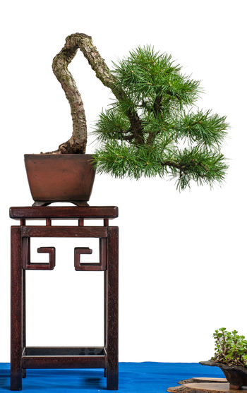 Larch as bonsai tree on a table Isolated Beauty In Nature Bonsai Branch Clear Sky Close-up Day Growth Larch Larix Larix Decidua Nature No People Outdoors Plant Pot Sky Table Text Tree White Background