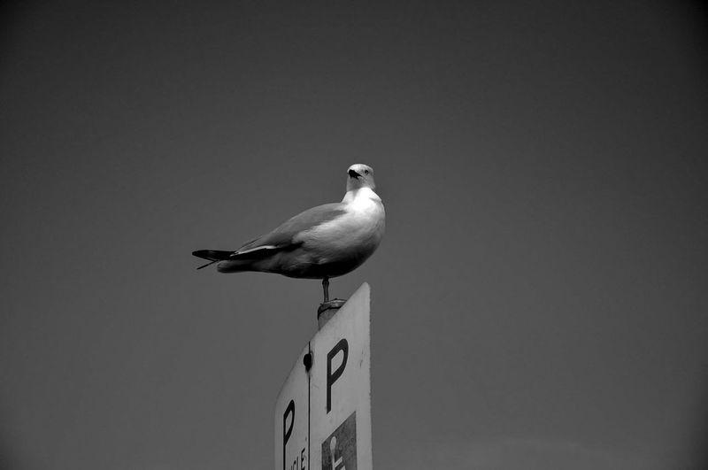 Animal Themes Animal Wildlife Animals In The Wild Bird Nature Seagull Seagulls Seagullwithonele Sky