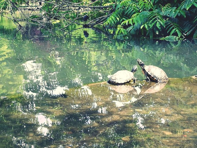 Tortoises Turtle Turtles Turtle Love Turtle Cuteness Turtles In The Sun Lake Lake Life Green Summer Tortoise Tortoise Love Water Lake Reflection Close-up Sea Life Swimming Floating In Water Aquarium Sea Turtle