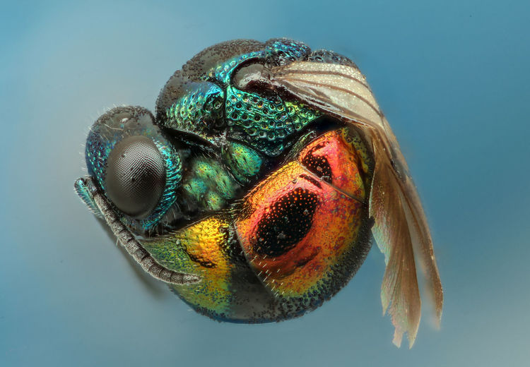 Close-Up Of Fruit Fly Against Blue Background
