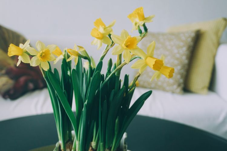 Close-up of yellow daffodil flowers in vase