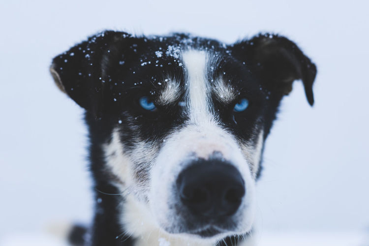 Staring contest with a beautiful Alaskan Husky Blue Eyes Dogs Dogs Of EyeEm EyeEm Best Shots EyeEmNewHere Winter Animal Animal Themes Close-up Day Dog Domestic Animals Eyes Faded Focus On Foreground Husky Looking At Camera Mammal No People One Animal Outdoors Pets Portrait Sky Staring