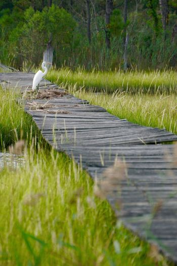 Egret Warped  Grass Green Color Animal Nature Footpath Surface Level Tranquility Narrow Plant Tree Planks Old Precarious