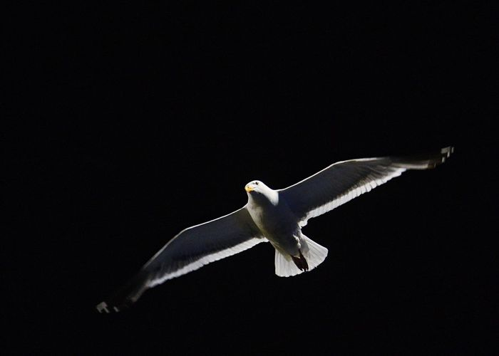Night Seagull SEAGULL IN FLIGHT Seagull Nightphotography Night Photography Check This Out Nature Photography Dramatic Lighting Dark Sky Dark Soaring Flying Bird Birds_collection Sky And Bird Flying Birds Eye View Flying High