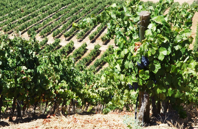 rows of grapevine in vineyards, south of Portugal Grapevine Vineyards  Agriculture Field Fruit Grape Green Color Growth Nature Plant Rows Rural Scene Scenics South Of Portugal Vineyard