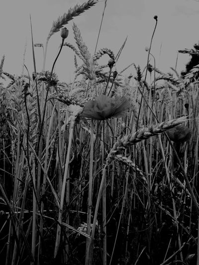 Mohn Mohnblume Blackandwhite Black And White Bird Flying Sky Animal Themes Plant Wheat Cereal Plant Cultivated Land Agricultural Field Farm Agriculture Ear Of Wheat Crop