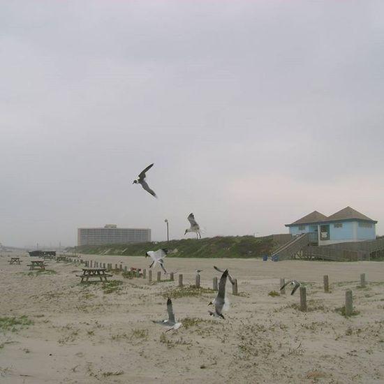 Seagulls In Flight Corpus Christi, Tx Mid Afternoon