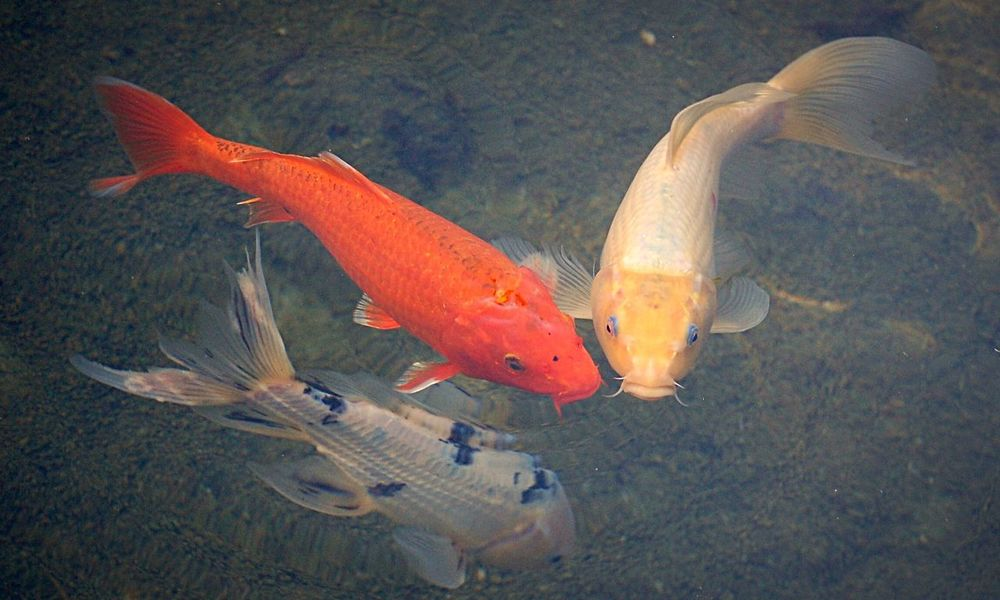 Outdoors Nature Fish Water Animals Close-up Animal No People Orange Pond