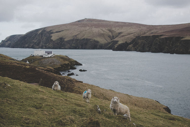 Sheep By The Sea Against Sky