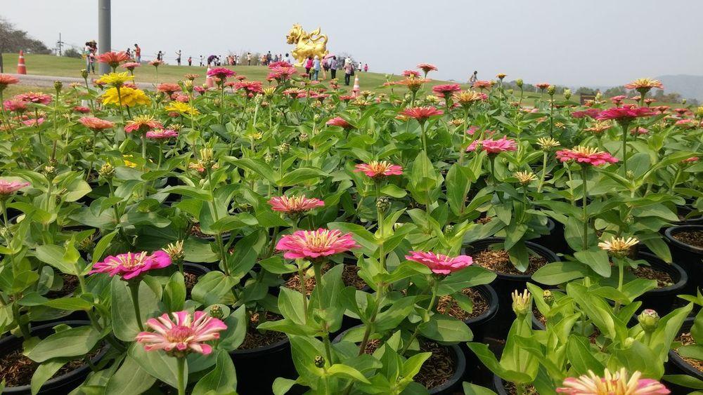 Freshness Day Poppy Outdoors Flower Head Flower Growth Nature Plant Sky Beauty In Nature Singha Singhapark Golden