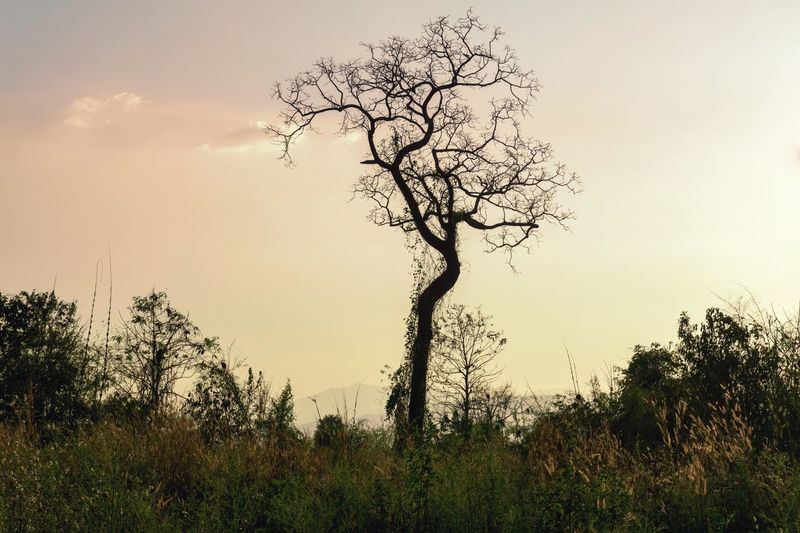 starting old Yellow Forest Hot Day Nature Outdoors Shape Dry Standing Tree Tree Plant Sky Tranquility Beauty In Nature Nature Growth Sunset Silhouette Outdoors Tranquil Scene No People Field Day Low Angle View Scenics - Nature Environment