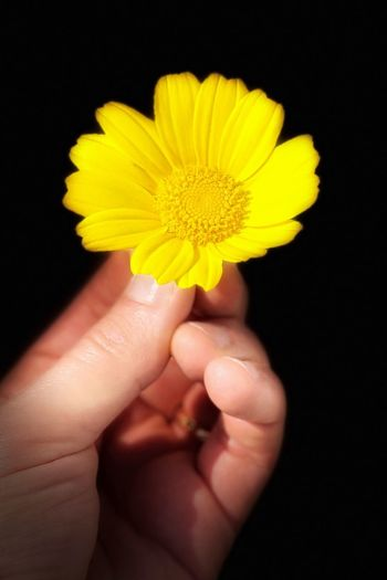 Close-up of hand holding yellow flower against black background