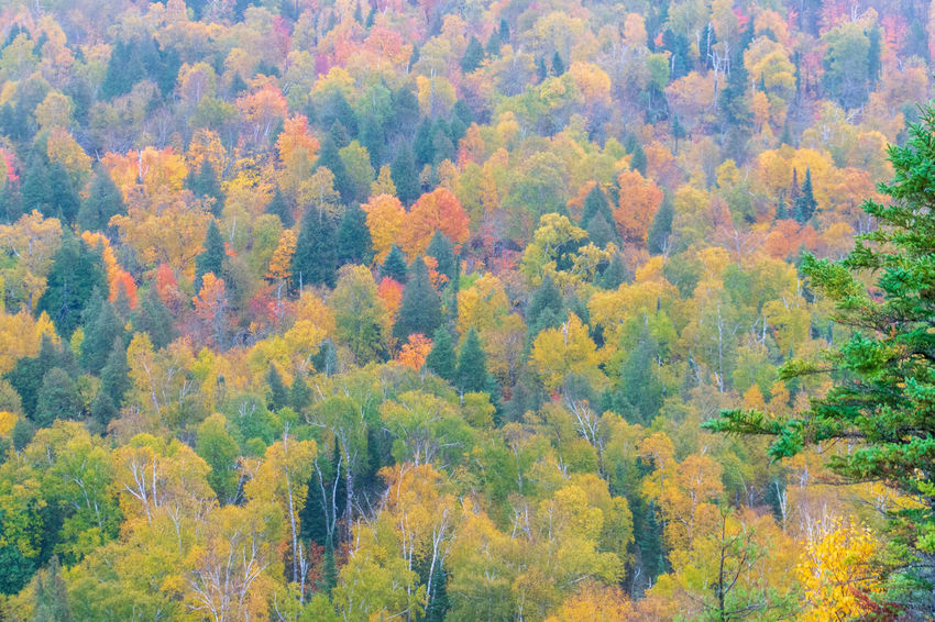 Full frame autumn treetops at peak color on a rainy day - nature background Autumn Scenics - Nature Tree Change Beauty In Nature Tranquility Outdoors Autumn Collection Multi Colored Backgrounds Pine Woodland Day WoodLand Full Frame Trees Forest Canopy Peak Foliage Environment Season  Fall Colors Treetops View Scenic