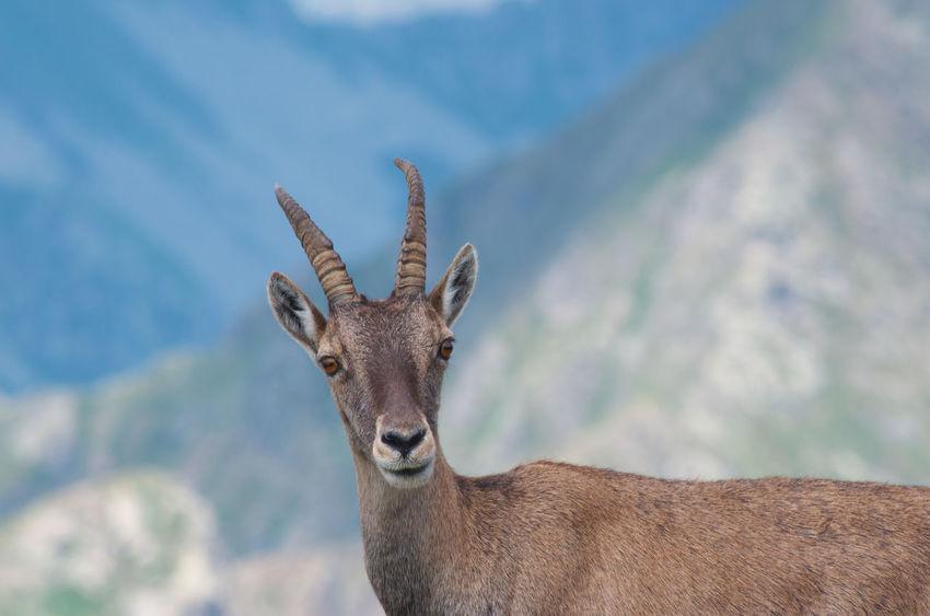 Alpine ibex ( Capra ibex ) Alpine Ibex CAPRA Horns Steinbock Alpi Alps Alps Switzerland Animal In The Wild Animal Wildlife Bouquetin Capra Ibex Herbivorous Hoofed Mammal Horned Animals Ibex Mountain Animal Mountains Portrait Stambecco