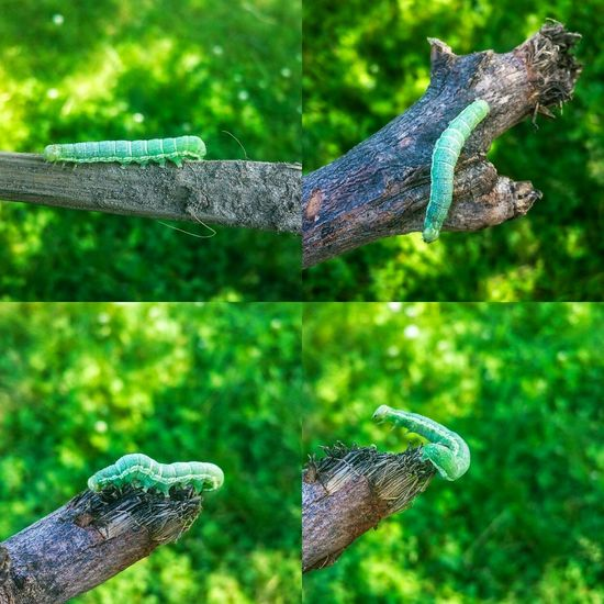 All 4 photos in one. Caterpillar Green Caterpillar Caterpilar Nature_collection Beautiful Nature Butterflies, Caterpillars & Grasshoppers ^___^ Naturelovers Creepy Crawly Insect Green