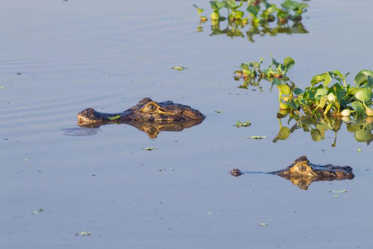 Caiman floating