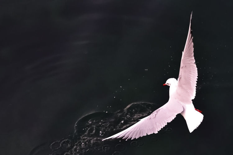 Bird Animal Themes Animals In The Wild Animal Vertebrate Animal Wildlife Flying One Animal Spread Wings White Color Water No People Nature Motion Beauty In Nature Outdoors Mid-air Black Background Animal Body Part Seagull