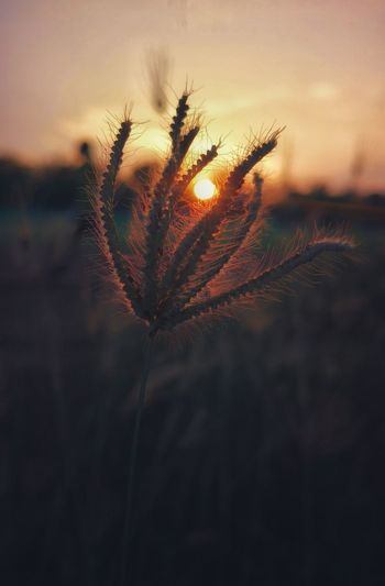 Soft Focus Soft Light Softtones Sunset Sunset_collection Sunsetlover Eveing Shot Evening Sky Evening Light Grassflower Soft Feelings Sun Goes Down Flower Head Flower Cereal Plant Sunset Rural Scene Defocused Backgrounds Field Uncultivated Dramatic Sky Moody Sky