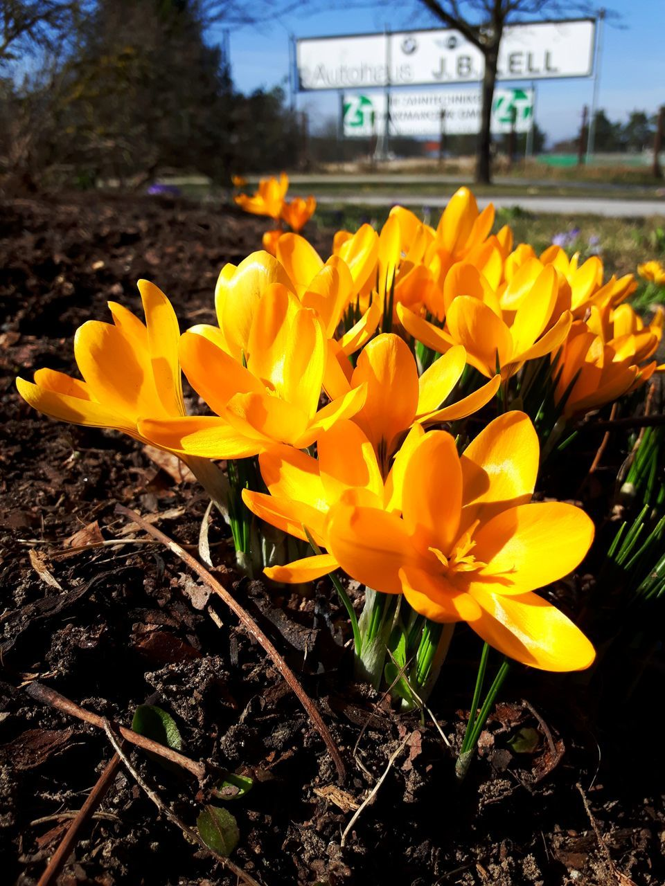 flower, yellow, petal, nature, fragility, beauty in nature, growth, freshness, plant, outdoors, no people, flower head, blooming, day, close-up, crocus