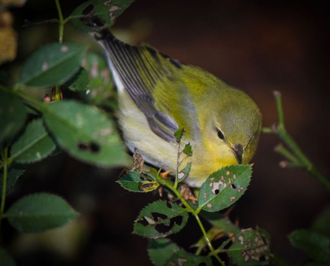 Warbler Animal Themes One Animal Animal Wildlife Animal Animals In The Wild Close-up Plant Green Color Beauty In Nature