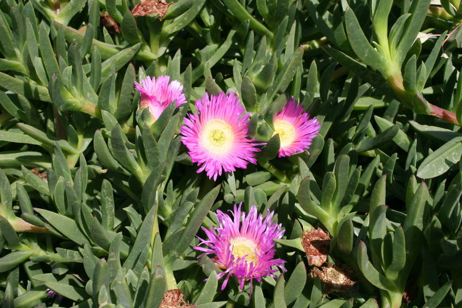 Beauty In Nature Blooming California Carpobrotus Edulis Close-up Day Flower Flower Head Fragility Freshness Green Color Growth High Angle View Highway Ice Plant Hottentot-fig ICE PLANT Ice Plants Leaf Nature No People Outdoors Petal Pink Carpobrotus Edulis Pink Ice Plant Plant