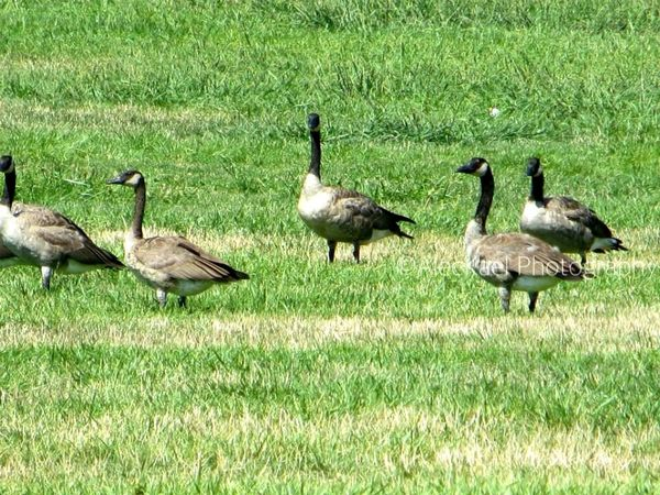 Geese Goose Animal Animals
