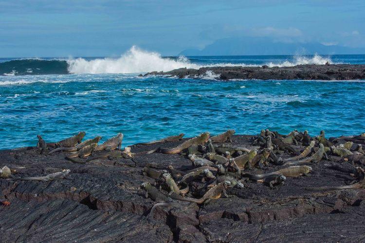 Ecuador Galapagos Galapagos Islands Iguana LavaFlow Wild Animal Marine Iguanas Galapagos Beach