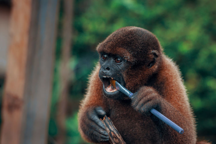 Close-up of monkey chewing a brush