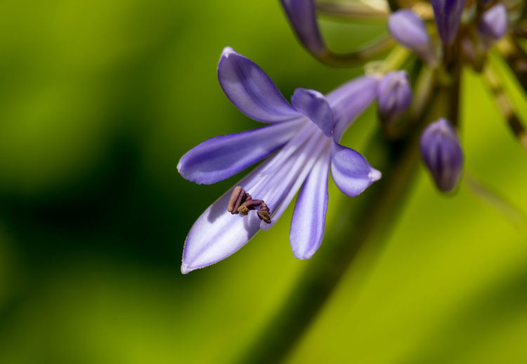Close-up of african lily