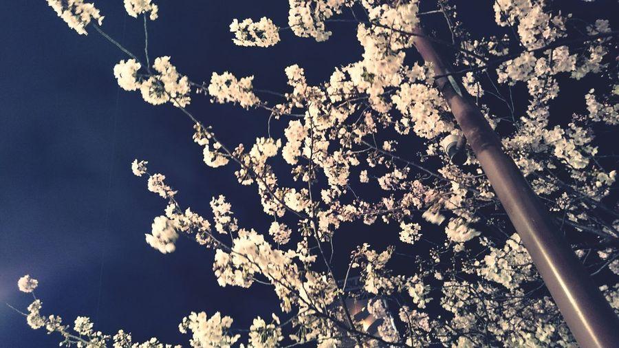 Walking Around People Watching Tokyo Cherry Blossoms Japan