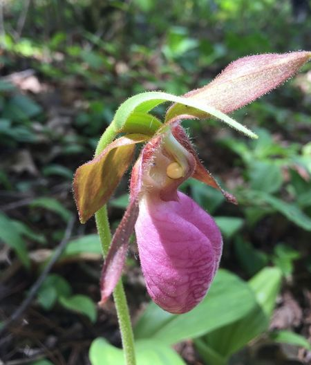 Pink Lady Slipper Orchis Nature Growth Plant Close-up Beauty In Nature Day Fragility Flower Leaf Focus On Foreground One Animal No People Outdoors Petal Green Color Animals In The Wild Flower Head Pink Flower WoodLand Forest Flower northern Wisconsin Woods