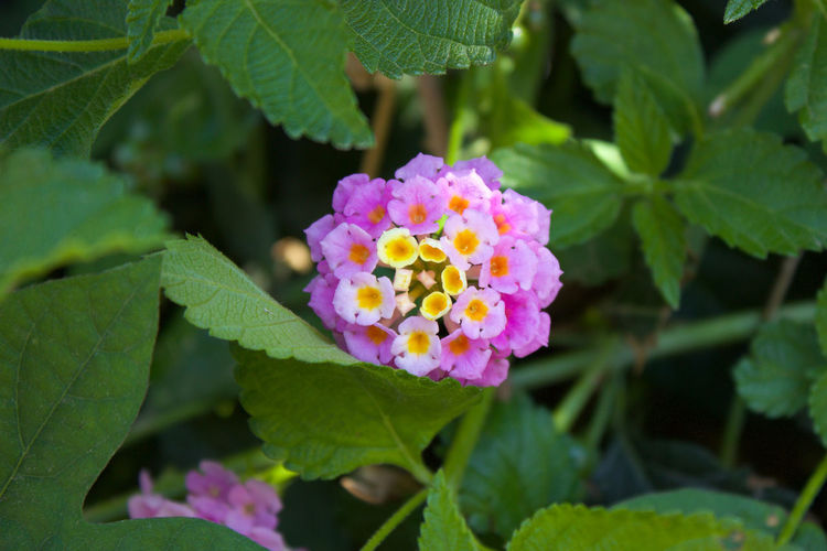 Yellow to Purple. Flowering Beauty In Nature Blooming Close-up Contrasting Colors Day Flower Flower Head Fragility Freshness Green Color Growth Lantana Camara Leaf Natural Gradient Nature No People Outdoors Park - Man Made Space Petal Pink Color Plant